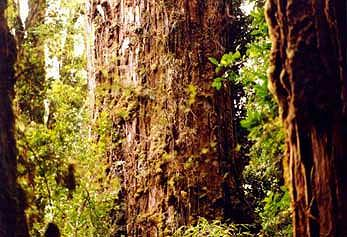 Alerce trees in Chile.jpg